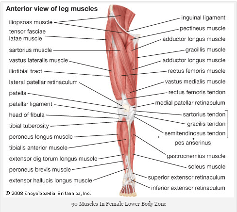 female lower body zone muscles